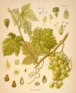v.vinifera